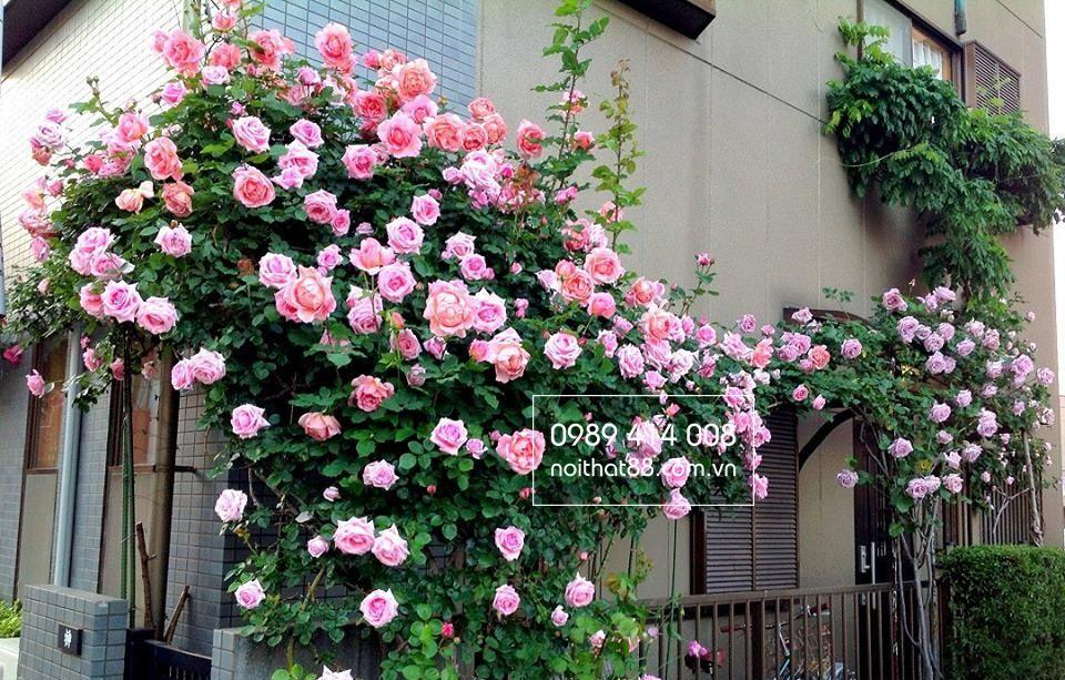 vườn hồng đẹp